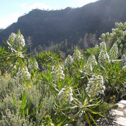 Early Spring in Gran Canaria - flowers in bloom
