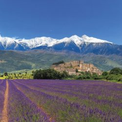 Lavender fields in bloom at the base of Mont Ventoux