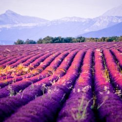 Lavender Fields in Provence, near Mont Ventoux